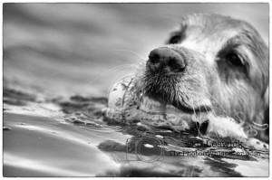saskatchewan golden otter