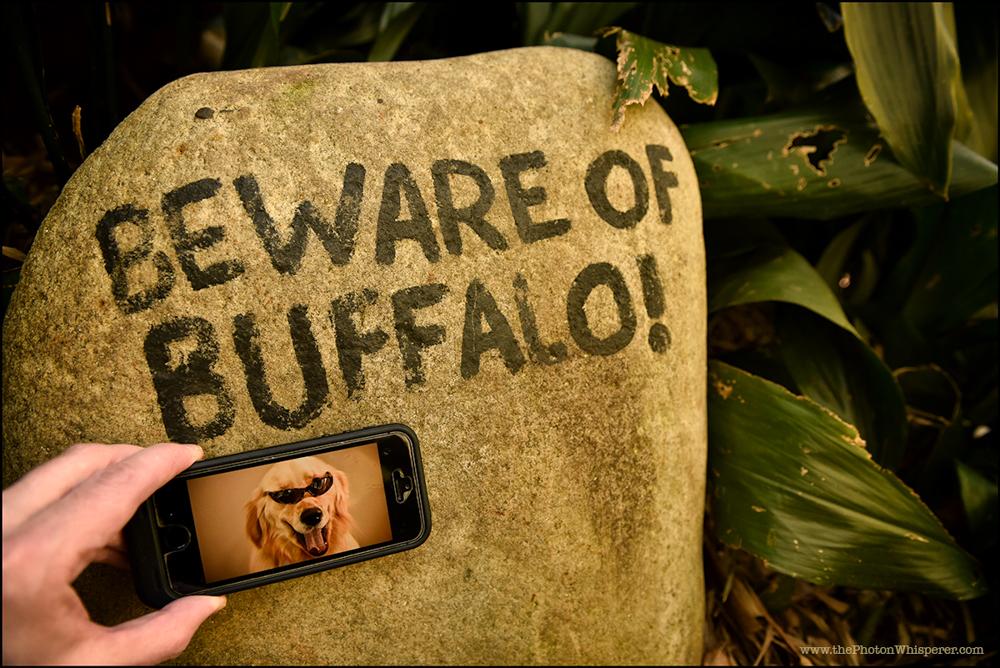 beware of buffalo
