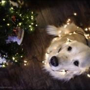 Bruno's Project – December 2017 – Golden retriever at Christmas
