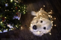 Bruno's Project – December 2017 – Golden retriever at Christmas
